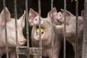 Dėl kiaulių maro siūloma steigti specialią komisiją