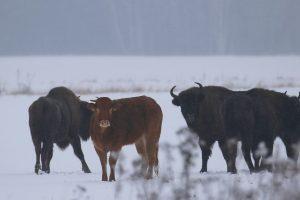 Lenkijoje iš ūkio pabėgusi karvė ganosi su stumbrų banda