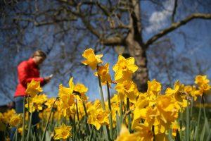 Balandžio 22-oji – Narcizų karaliaus diena