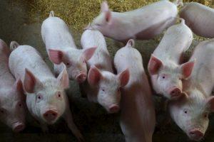 Kinijos ūkyje dėl afrikinio kiaulių maro protrūkio sunaikinta 70 tūkst. kiaulių