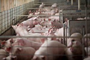 Didžiulėje Latvijos kiaulių fermoje – maro protrūkis