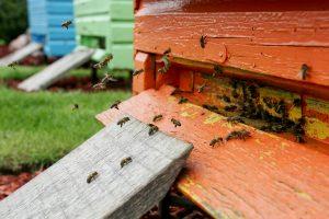 Bitininkai nepasiūlys vėlyvojo medaus