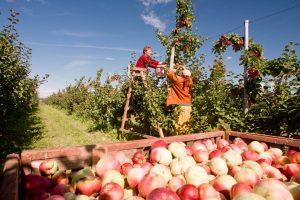 Labiausiai pabrango obuoliai, kopūstai ir rugiai