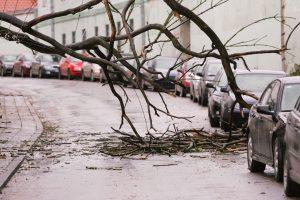 Savivaldybė medžio sužalotai moteriai svarsto sumokėti 50 tūkst. eurų