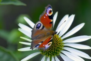 Ypatingi drugeliai: gyvena ilgiau, maitinasi neįprastai