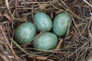 Gamtos įdomybės: paukščiai kiaušinių spalvų įvairovę paveldėjo iš dinozaurų