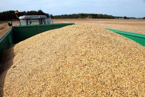 Birželį grūdų eksportas išaugo 13 kartų