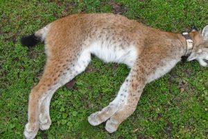 Partrenkta lūšis keliaus į Tado Ivanausko zoologijos muziejų
