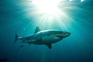 Pasaulyje pirmą kartą užfiksuotas miegantis didysis baltasis ryklys