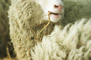 Avelės Dolly palikimas: ar valgome klonuotų gyvulių mėsą?