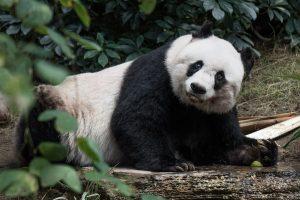 Honkonge mirė seniausia nelaisvėje gyvenusi panda