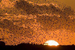 Migruojantys paukščiai Danijos pakrantėje užstoja saulę