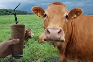 Daugybė suaugusių amerikiečių mano, kad šokoladinį pieną duoda rudos karvės