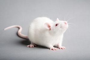 Išvesta pelė, kuri galėtų aptikti ligas ar sprogmenis