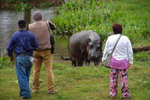 Garsiojo hipopotamo klajonėms užkirsti – didžiulės pastangos
