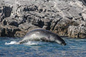 Po 50 ruonių antpuolio – žvejys ant stačios uolos