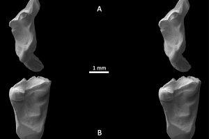 Studentas rado prieš 145 mln. metų gyvenusių žinduolių dantų