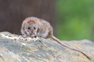 Žiurkės puota bankomate: skuteliais virto tūkstančiai eurų