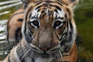 Nacionalinio parko lankytojai pamatė retą meškos ir tigro kovą