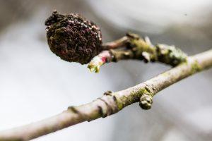 Gamtininkas paaiškino, kaip žiemą lengvai atskirti medžius