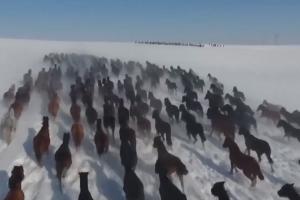Įspūdingas vaizdas: laukais pasimankštinti pasileido šimtai žirgų