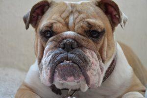 Vėl įsiplieskia diskusijos dėl pavojingų šunų bei jų mišrūnų sąrašo naikinimo