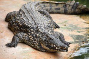 Gedi vieno seniausių krokodilų – daugiau kaip 80-ies sulaukusio Bismarcko