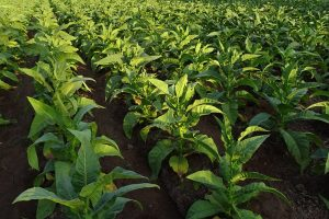 """Mokslininkai: """"genetinis triukas"""" leidžia 40 proc. padidinti augalų produktyvumą"""