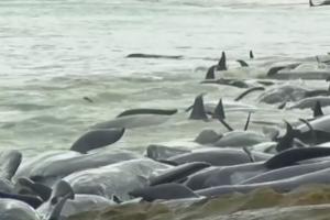 Australijoje į krantą išmesta daugiau nei 130 delfinų