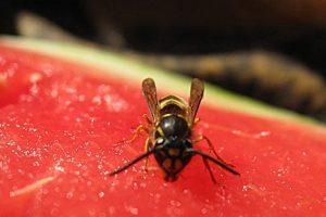 Vabzdžių įgėlimai: kaip suteikti pirmąją pagalbą?