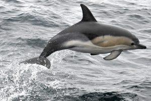 Šiurpi statistika: delfinų ir jūrų kiaulių sumedžiojama ypatingai daug