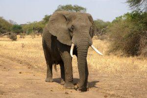 Kodėl Afrikos dramblių oda tokia raukšlėta?