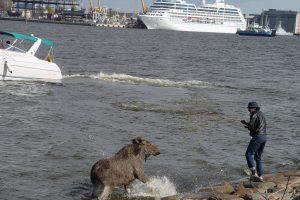 Kuršių mariose vyko gyvūno gelbėjimo operacija