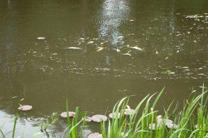 Sausros padariniai Lietuvoje: upėse ir tvenkiniuose senka žuvų ištekliai