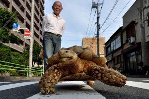 Tokijo gatvėse praeivius stebina didžiulis vėžlys
