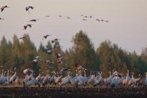 Mokslininkai: paukščiai į perimvietes grįžta anksčiau