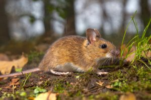 Japonai klonavo peles panaudoję jų šlapimo ląsteles