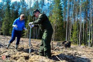 Pavasarinis miškasodis – prasminga skola miškui