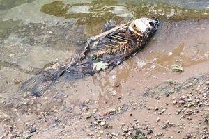 Skaitytoja išsigandusi: Kauno marių pakrantėje – negyvos žuvys