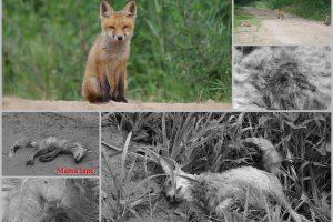 Tūkstančius sugraudinusi lapiukų istorija: nušauti – legalu, bet ar žmogiška?