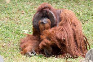 Amerikoje nugaišo ženklų kalbą mokėjęs orangutanas