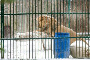 Kalėdines dovanas išvyniojo ir zoologijos sodo gyvūnai