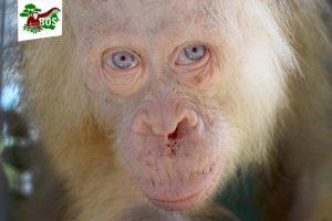 Orangutangei albinosei – ypatingas dėmesys
