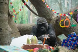 Seniausia JAV gorila švenčia 60-ies metų jubiliejų