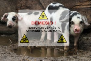 Nerimą kelia afrikinio kiaulių maro protrūkiai
