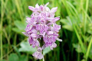 Neries regioniniame parke – talka retoms orchidėjoms gelbėti