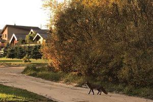 Mieste šmirinėjančioms lapėms ribų nėra: eina ten, kur gali rasti maisto