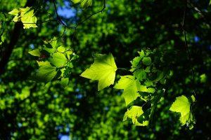 Medžiai pavojuje: gali išnykti beveik 10 tūkst. rūšių