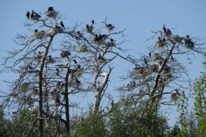 Kas vertingiau – miškas ar kormoranų kolonija?