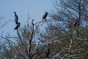 Uostamiesčio politikai kratosi kormoranų